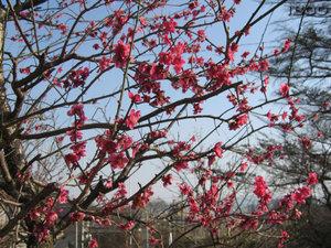 Japanese_plum