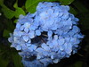 hydrangeas_and_raindrops