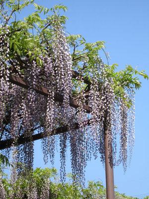 Japanese_wisteria